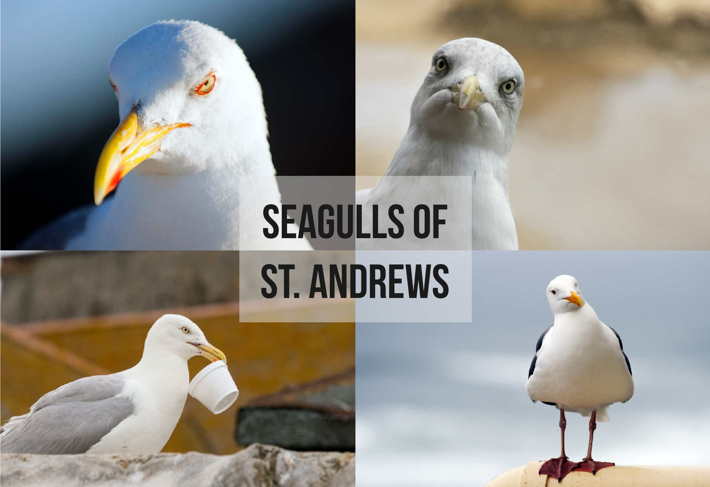 seaguls_of_standrews.png