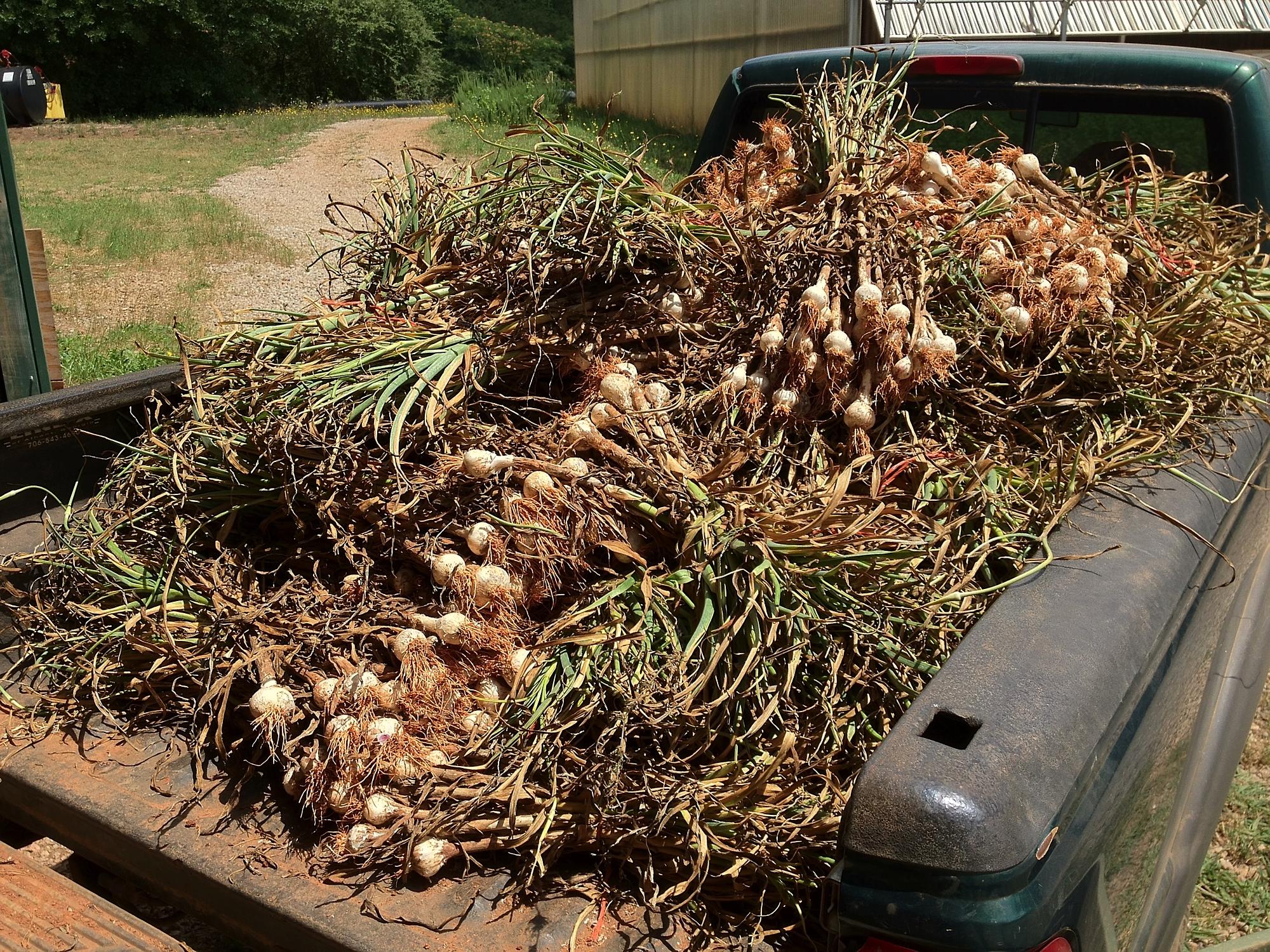 Garlic 2012