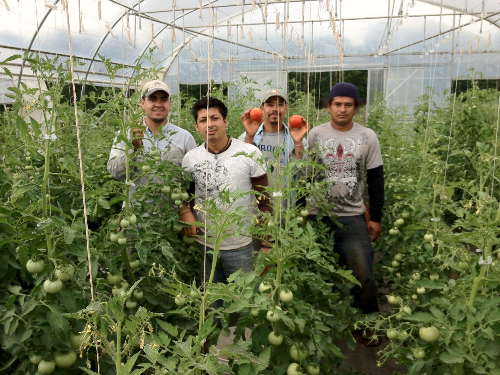 Harvesting Tomatoes June 2012