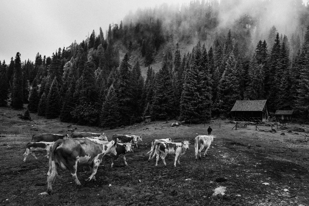 cows_5056_1500PX_SRGB.jpg