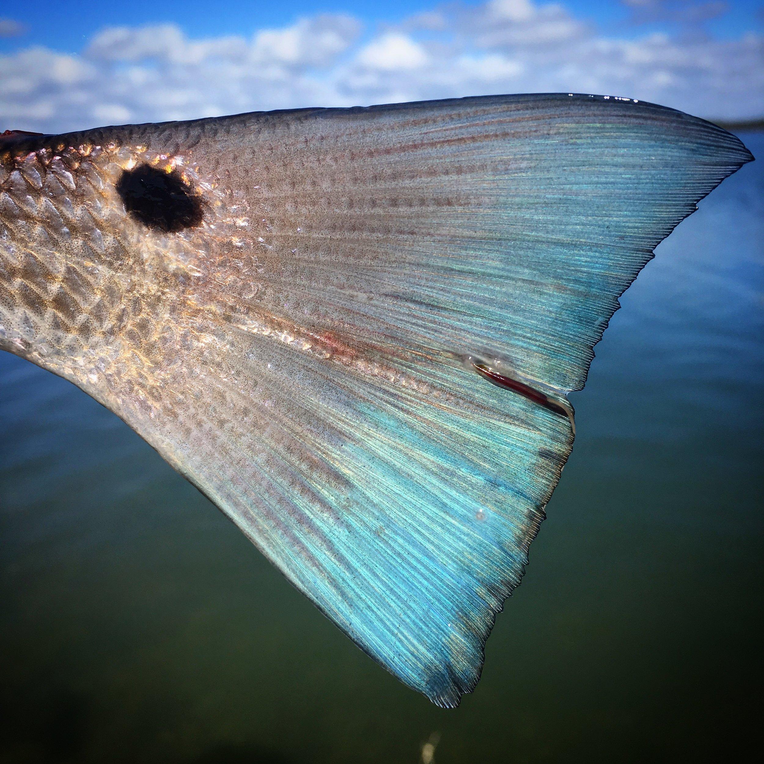 Charleston, SC Redfish tail
