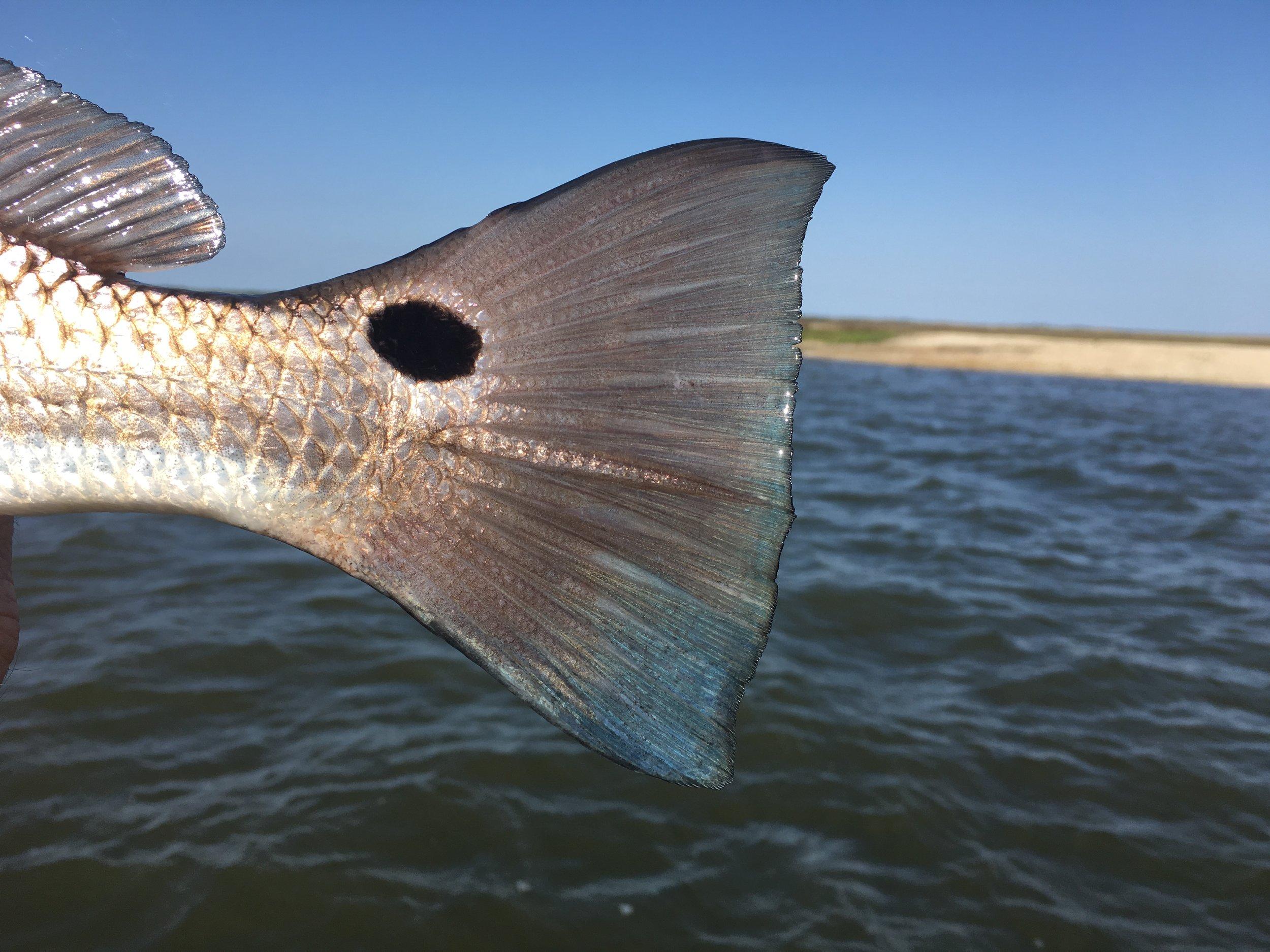 redfishtail.jpg