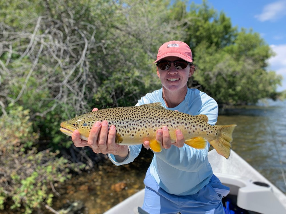 Madison River Brown Trout on a dry fly