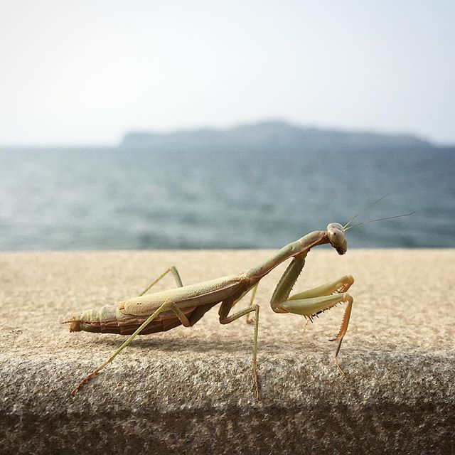 Another animal sighting . . . . #insect #gottesanbeterin #mantis #crete #greece #traveleurope #vacation #sea #ocean