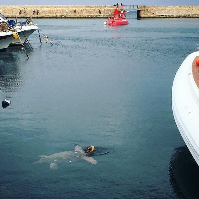 Spotting this sea turtle made my day . . . . . #seaturtle #chania #crete #greece #traveleurope #port #ocean #sea #love