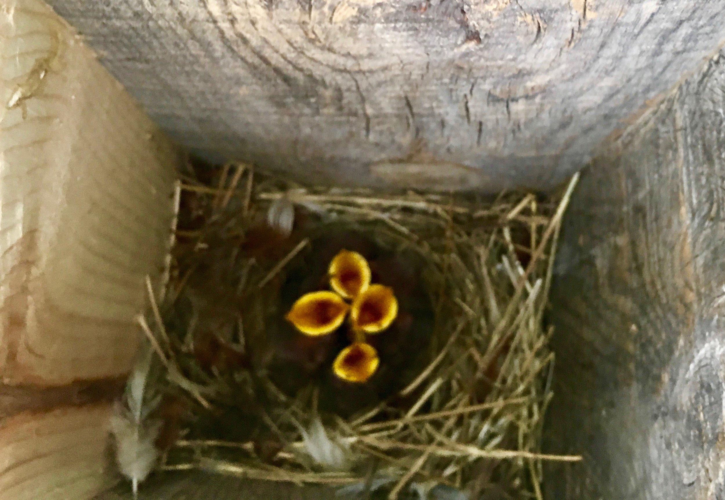 baby birds.jpg