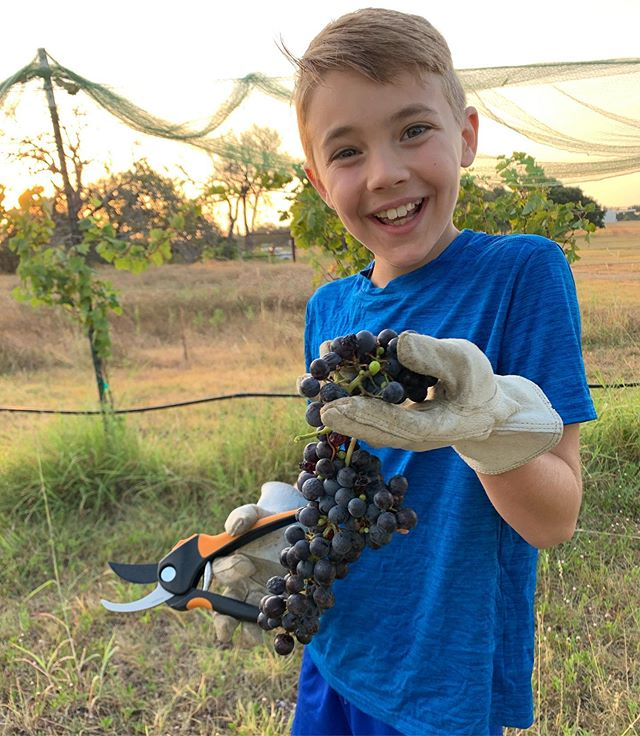 Nice morning to pick Sangiovese at the family vineyard... . . . #txwine #texasharvest #2019harvest #texashillcountry #hillcountry #texaswine #sangiovese #duchmanfamilywinery #hogheavenvineyards #youcansipwithus