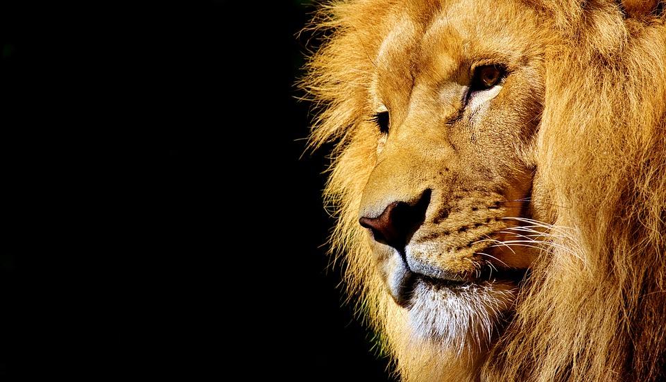 lion-2327225_960_720.jpg