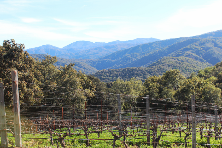 Just some of the 17 acres of grape vines on the ranch and over those mountains, the ocean.