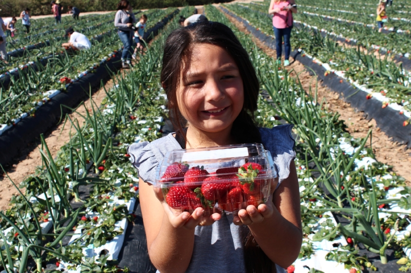 Cross planting of onions with strawberries helps naturally create a bug repellant for the berries. My girl was in pig heaven, strawberries are her all time favorite.