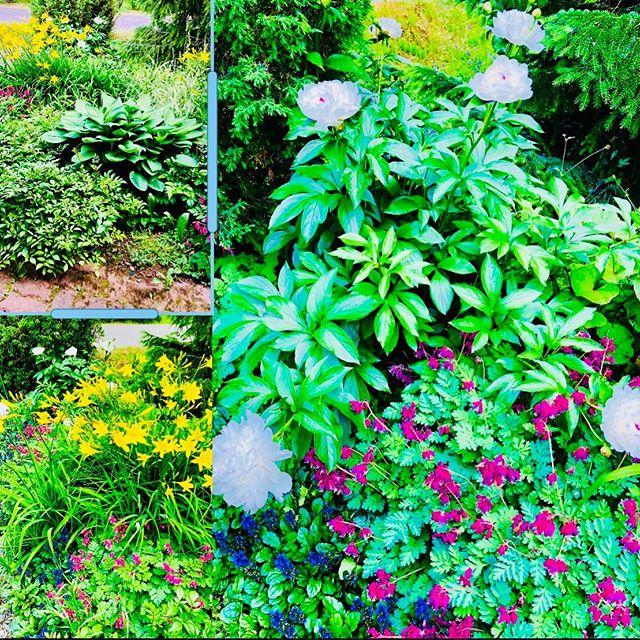 Sopivasti Juhannukseksi kaikki kukkii pihalla🌸🇫🇮🥂 #juhannus #juhannuskukat #omapiha #pioni #kukkafani #midsummer #midsummerflowers #midsummerinfinland #flowerlover #besttimeoftheyear #juneinfinland