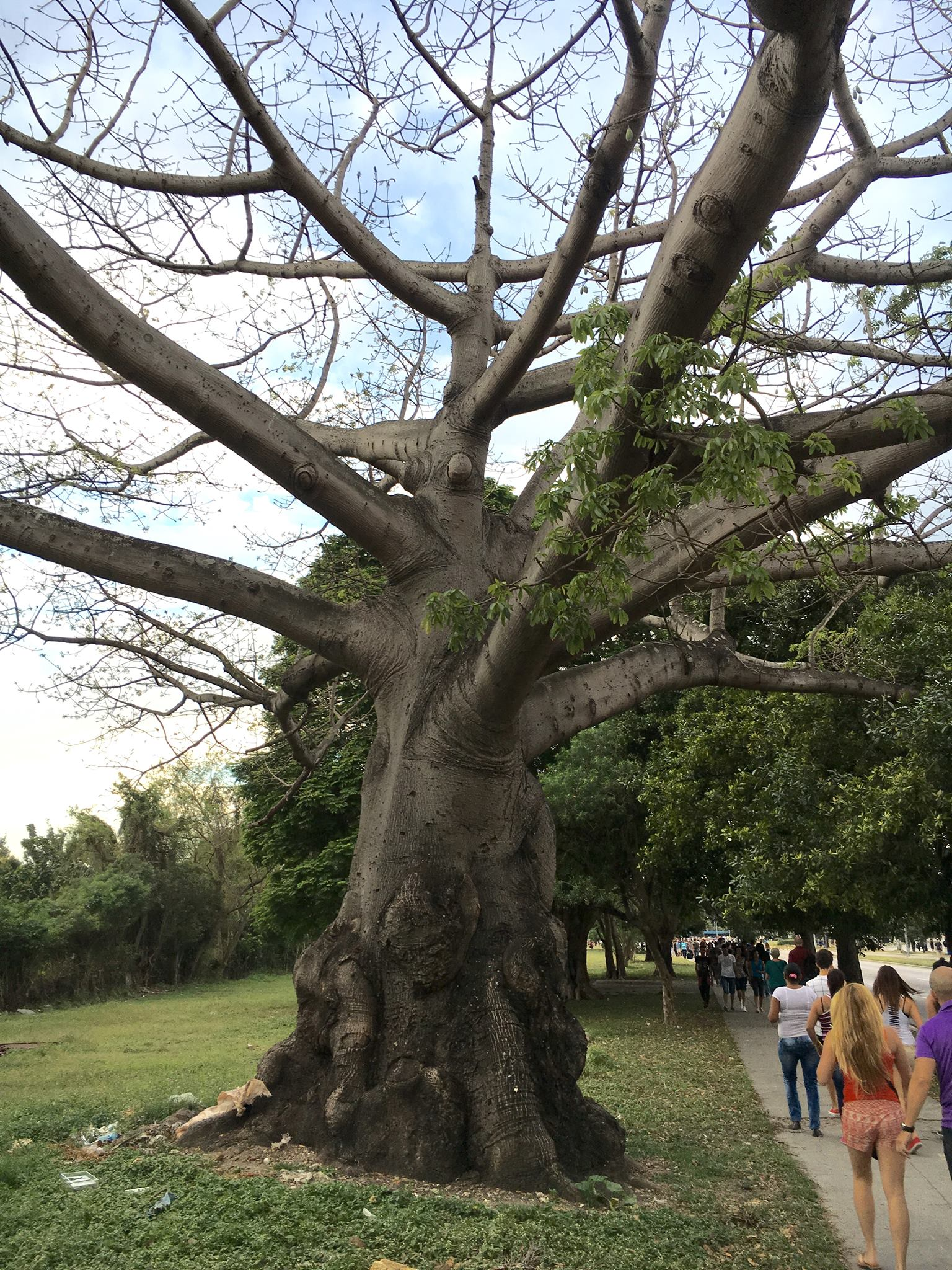 """In Cuba when the slaves arrived in this island from the African continent, they found nothing that linked them to their motherland; neither were there baobabs, the sacred tree that connected them to their gods. The only spiritual welcome these uprooted people received was the ceiba tree—also known as kapok tree or silk-cotton tree—a demigod tree that branches out to spirituality as a mother. It is luxuriant and strong and well-proportioned."""