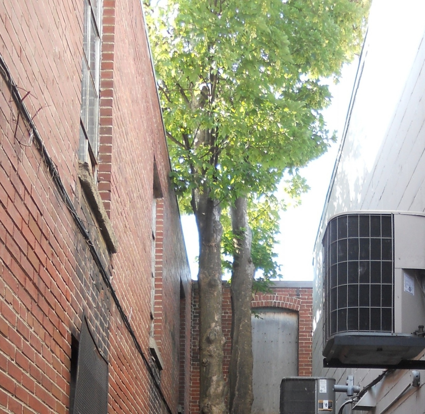 A tree on the museum property will be removed to prevent damage to the museum's foundation and roof.
