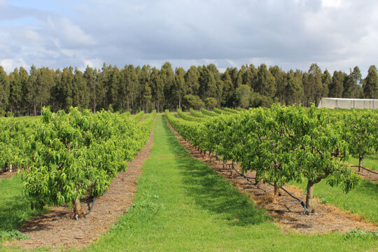 The Dugdell Family, Kumbia Stone Fruit Grower. Image by divinefruits.com.au