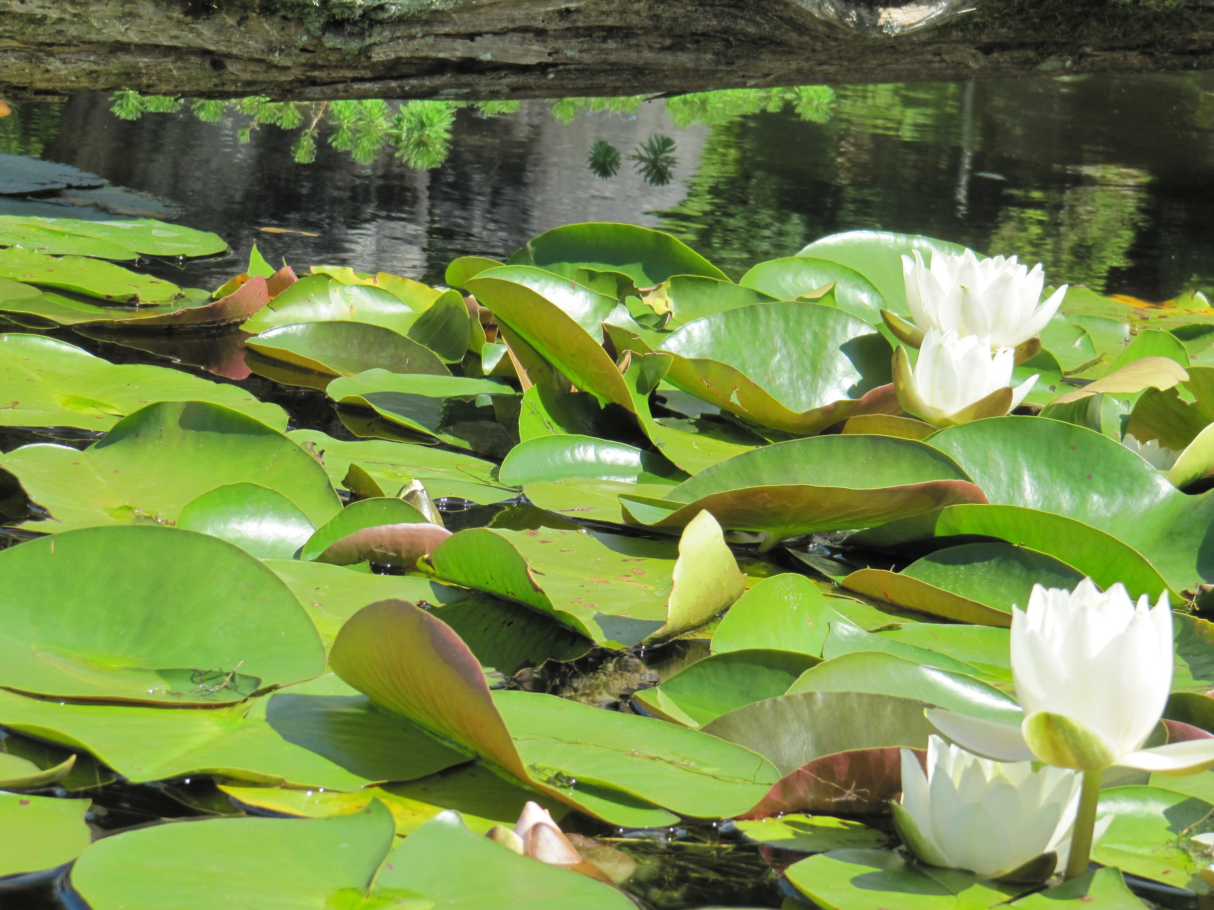 lotus_lily.jpg