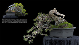 Gnarly Branches Ancient Trees The Life And Works Of Dan Robinson Bonsai Pioneer Elandan Gardens