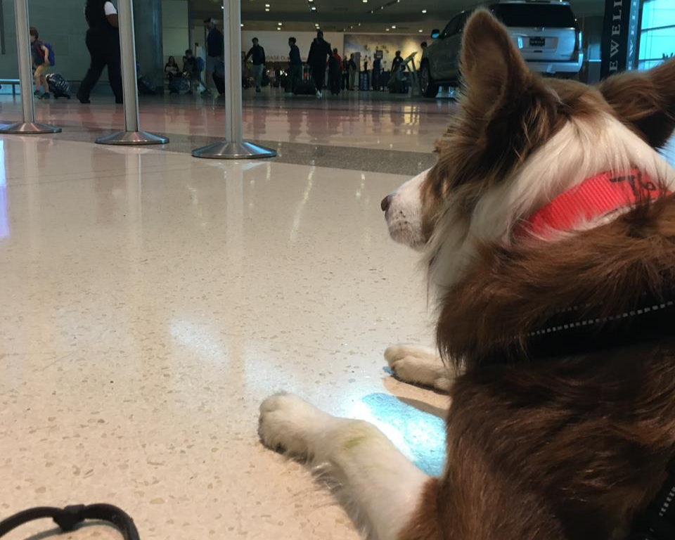 Beatrix takes it all in stride. Waiting to get into her crate and head off to the plane at Dallas Love airport.