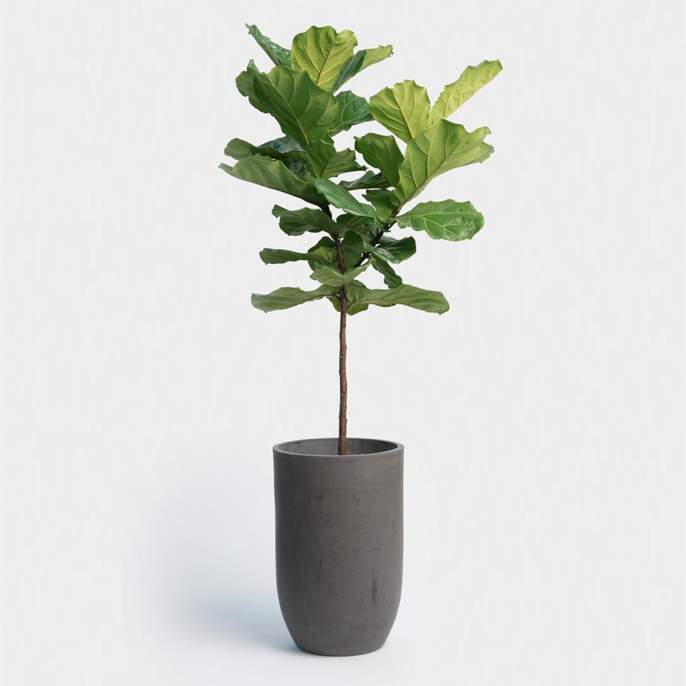Fiddle Leaf Fig  Image  Via