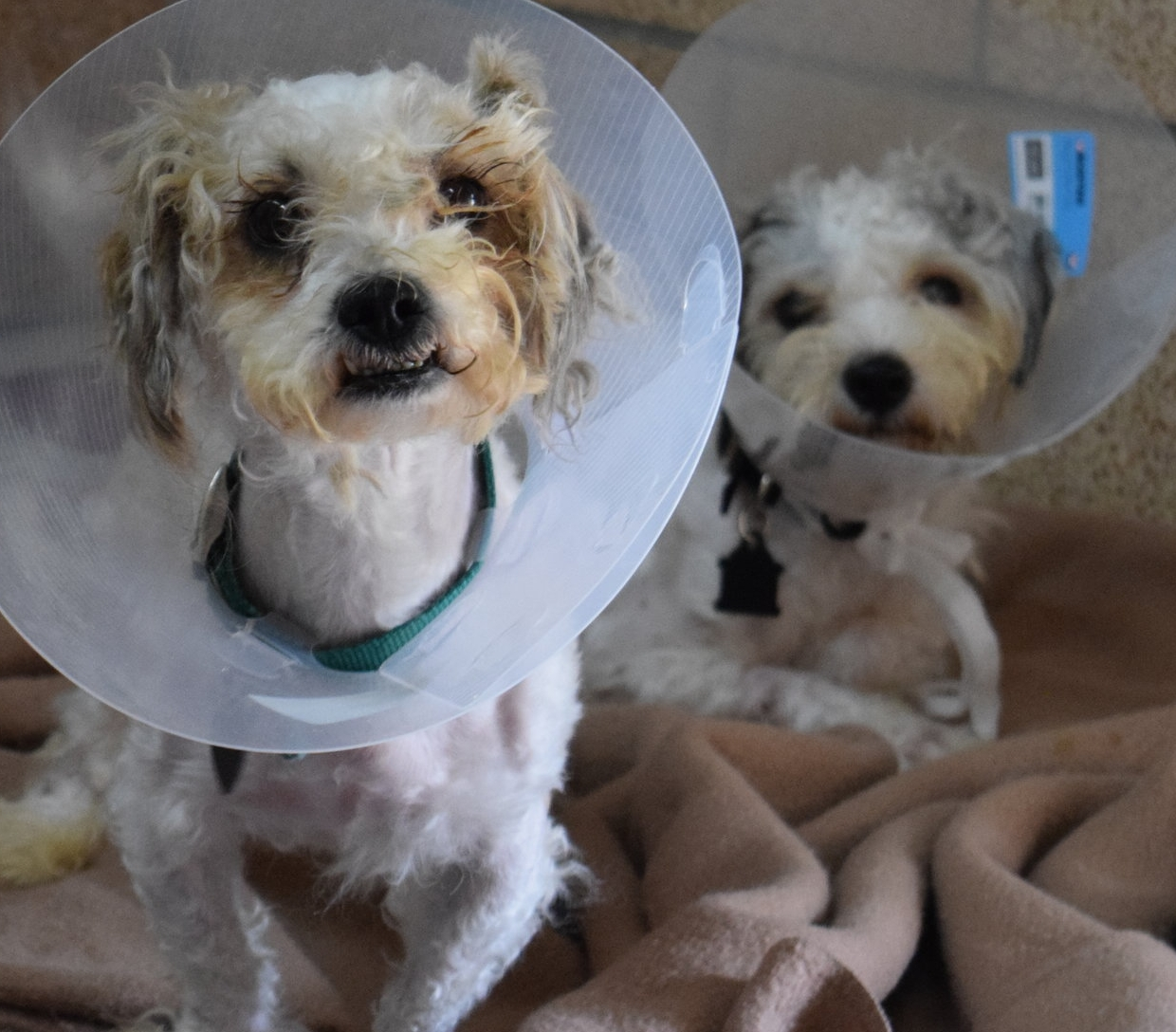 The boys are visibly happy to be able to sit up and romp around, even with their post-neutering cones!