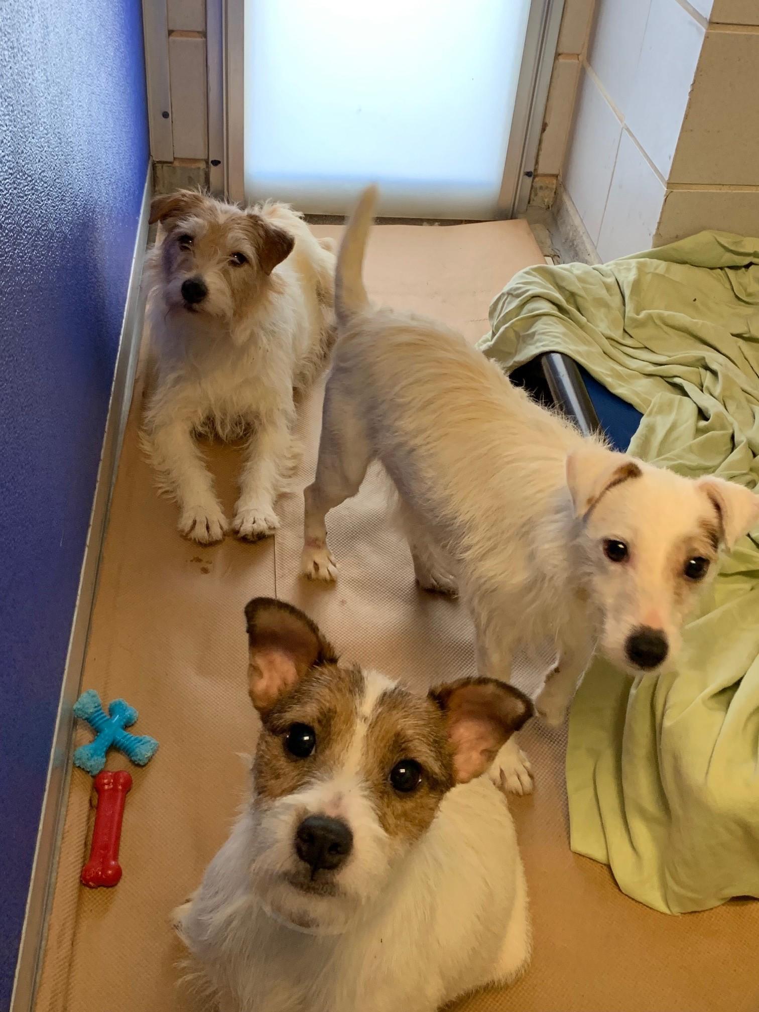 Parson Terriers 1.jpg