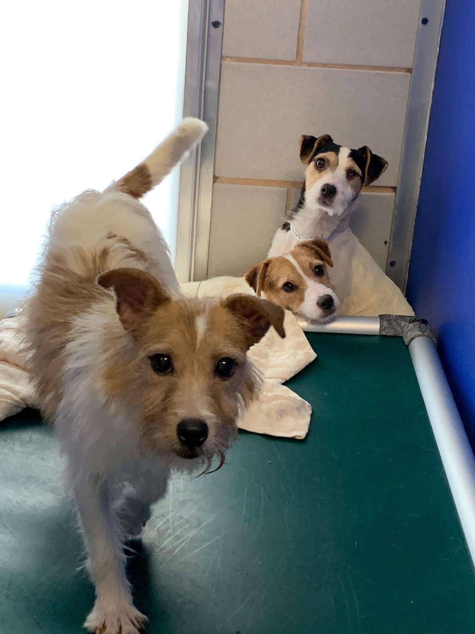 Parson Terriers 14'.jpg
