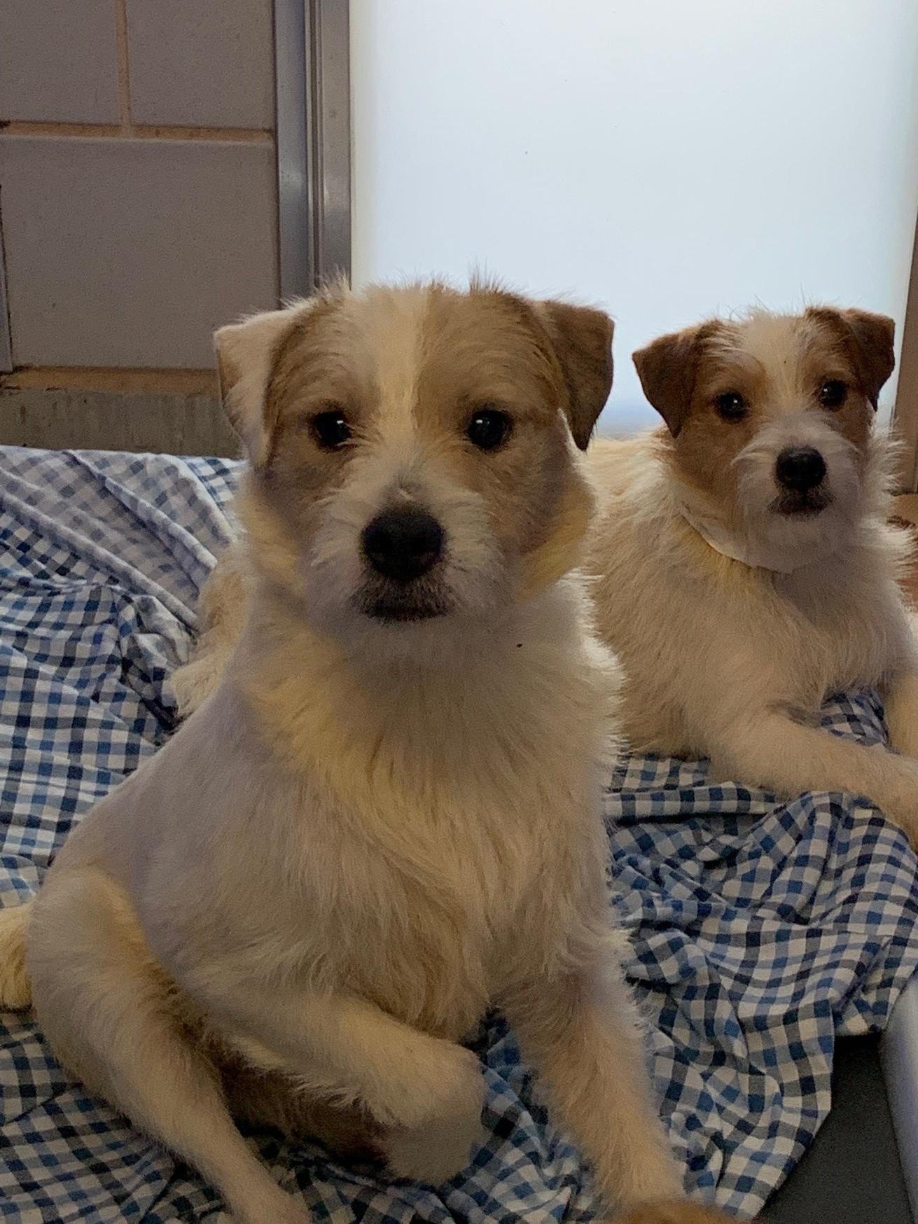 Parson+Terriers+12.jpg