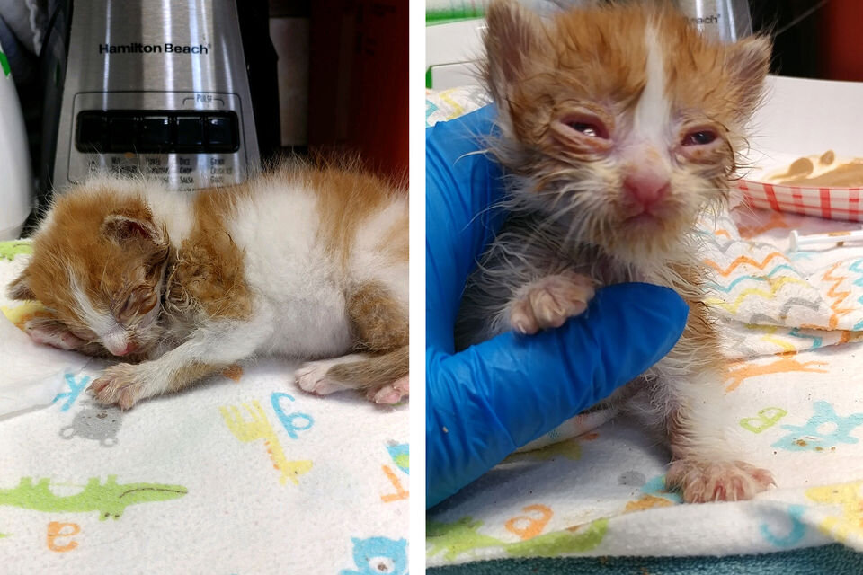 Pictured at left, Lucas was non-responsive on intake at the Kitten Nursery at St. Hubert's Animal Welfare Center in Madison. Pictured at right, Lucas after being stabilized on day 1.