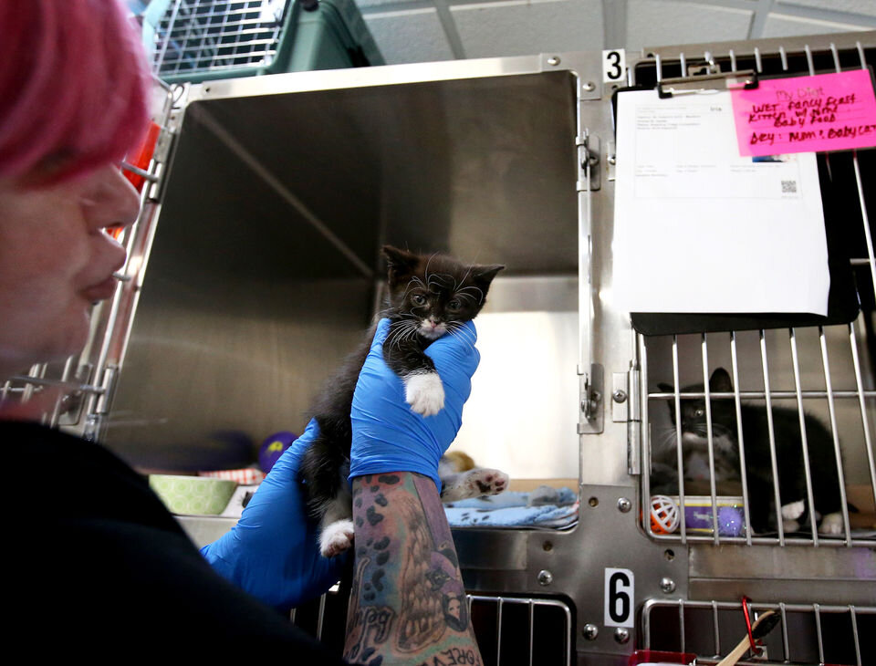 Grundgetta is taken out of her cage by Kitten Nursery manager Sam Friedman, Monday, Sept. 30, 2019. Grundgetta was found in the trash with a sibling, who was too weak to survive. (Lori M. Nichols | NJ Advance Media for NJ.com)