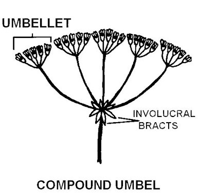 Umbel structures start to split and divide loads that meet at nodes. There are many variations to these structures that can be determined by the number of tiers and number of nodes needed for support.