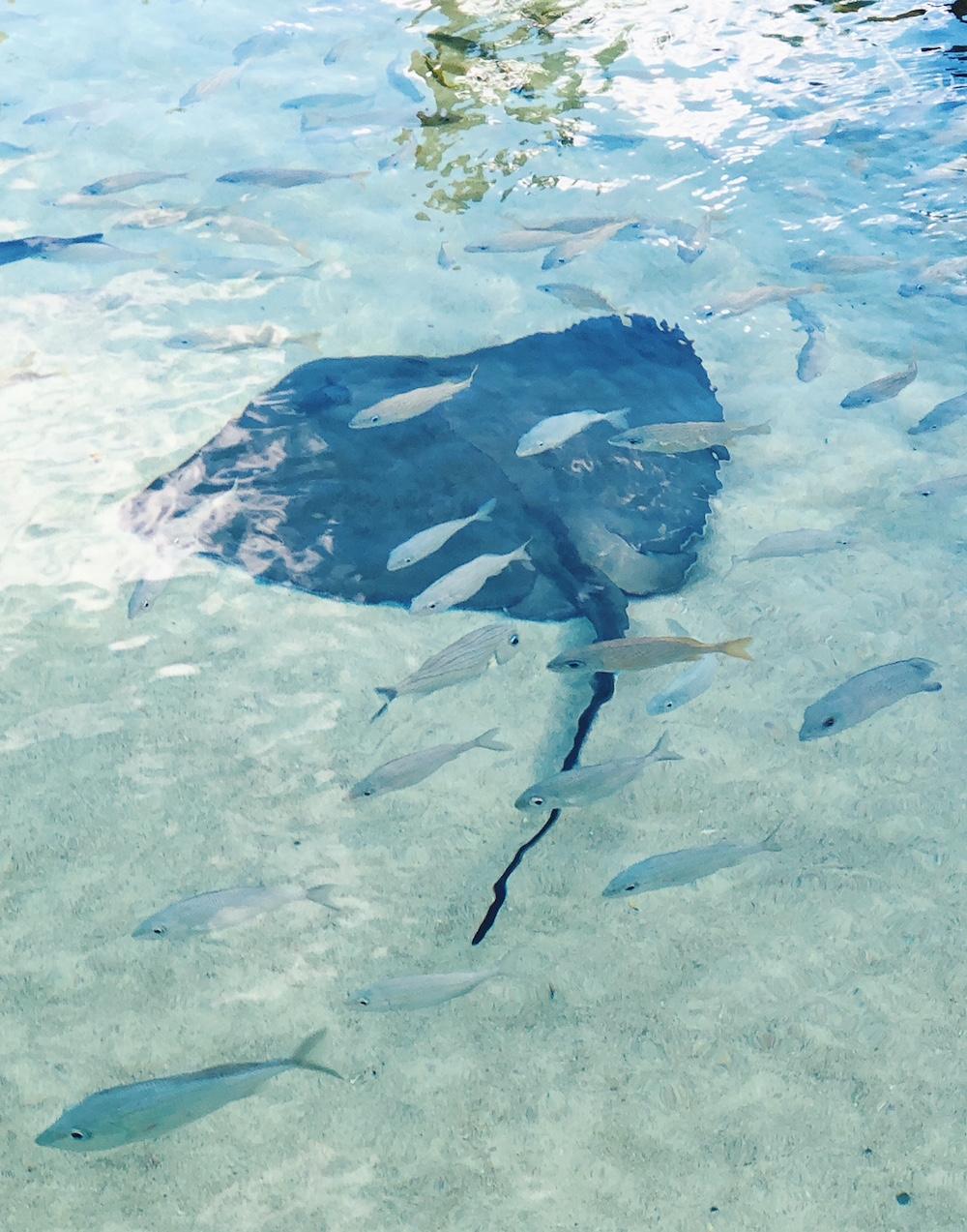 Stingray swimming with fish at Grand Hyatt Baha Mar Bahamas animal sanctuary