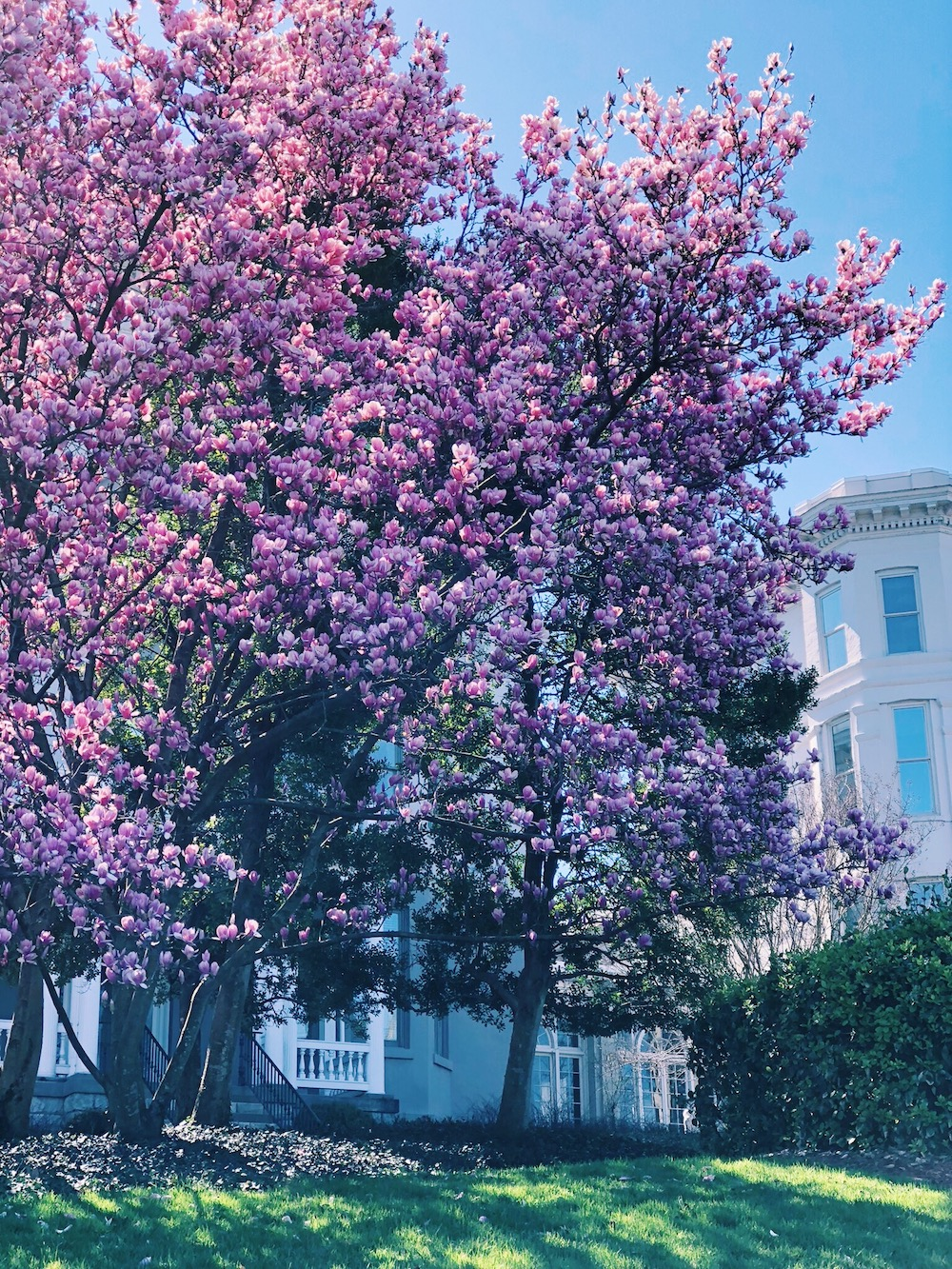 Belmont University Trees in bloom