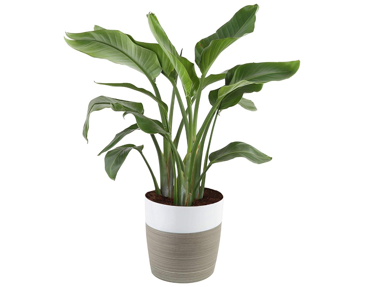 Bird of paradise - Indoor potted plant, $56; Amazon