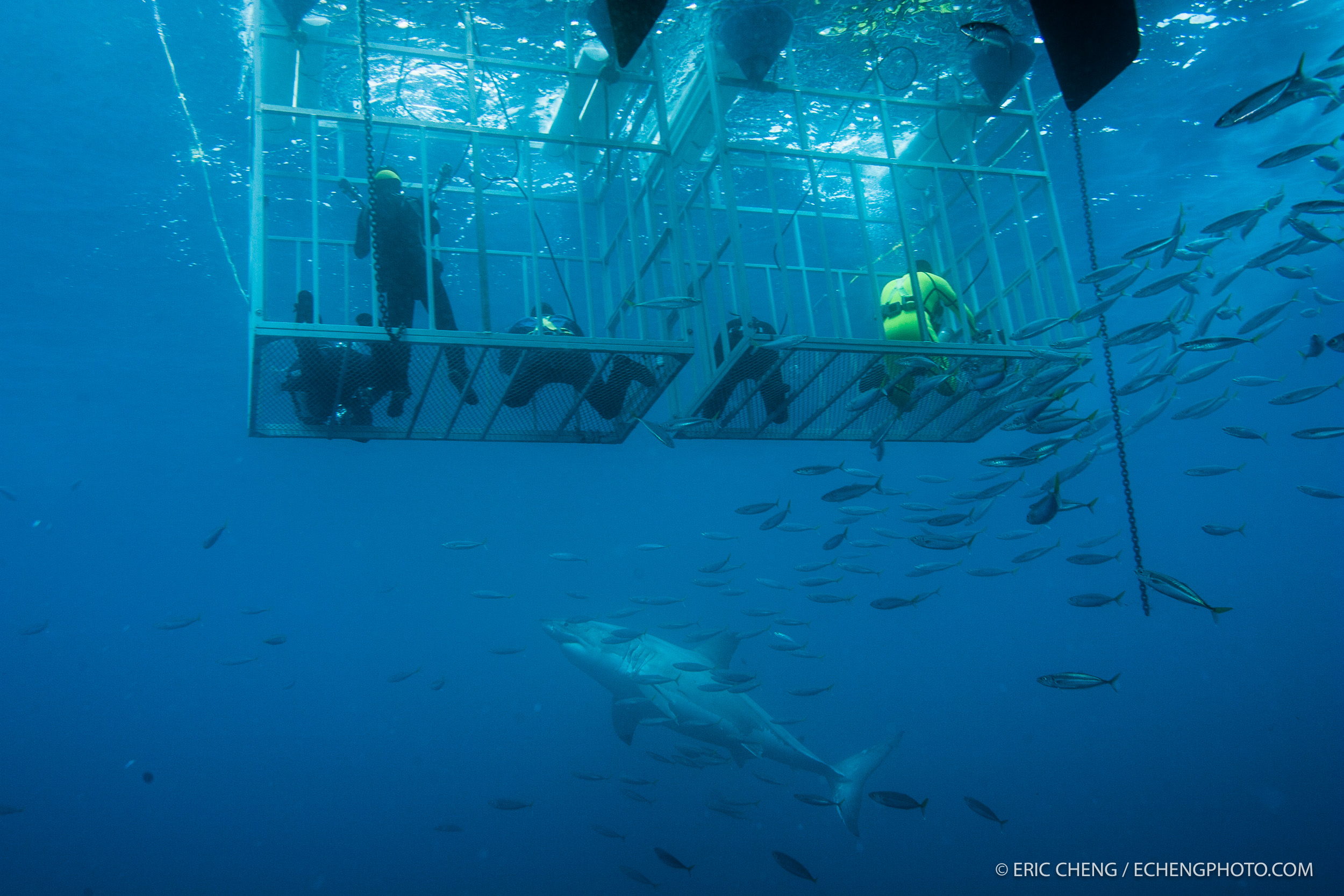 A white shark approaches the shark cages, underwater