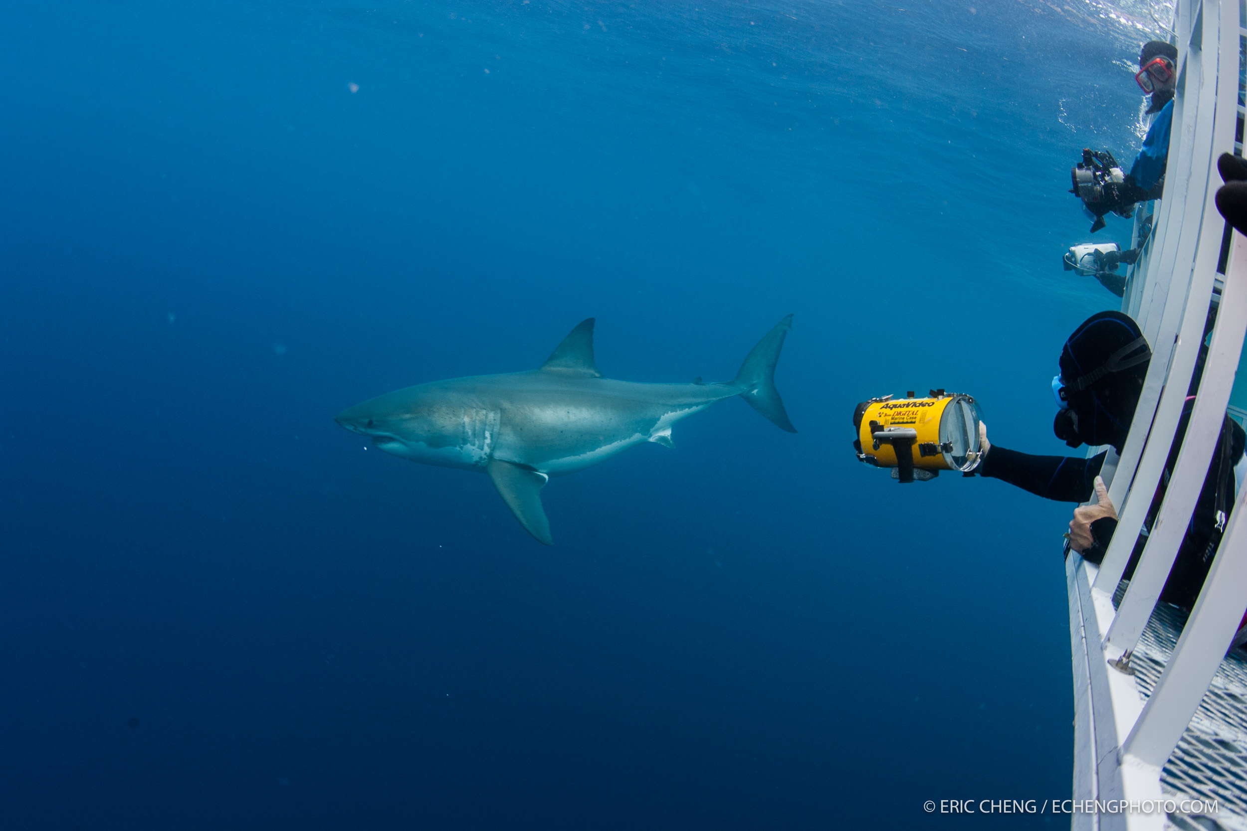 Jim Abernethy takes video of a passing white shark