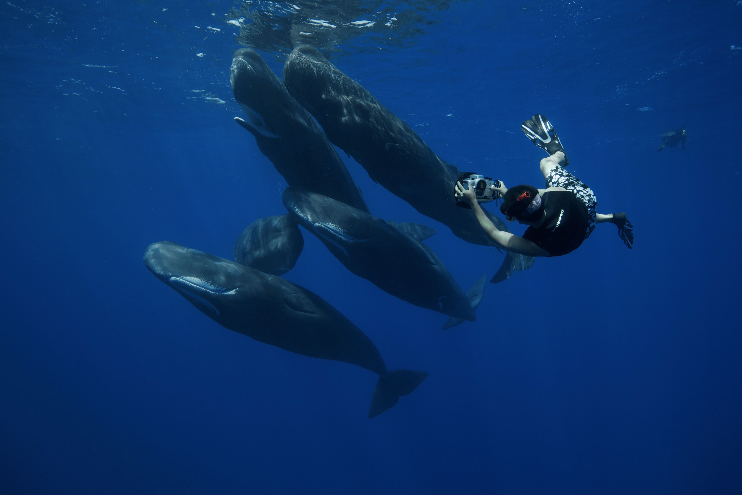 Eric Cheng photographing a group of five sperm whales