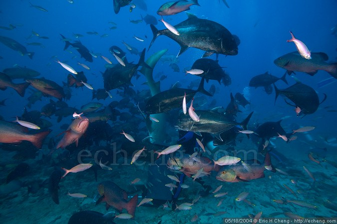 Manasa, in the middle of a feed (with giant trevali, red cod, nurse sharks, fusiliers, rainbow runners, and more)