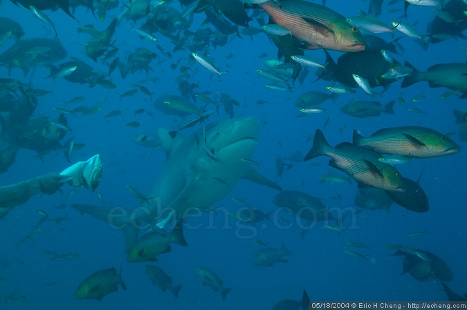 Rusi holds bait out to a bull shark