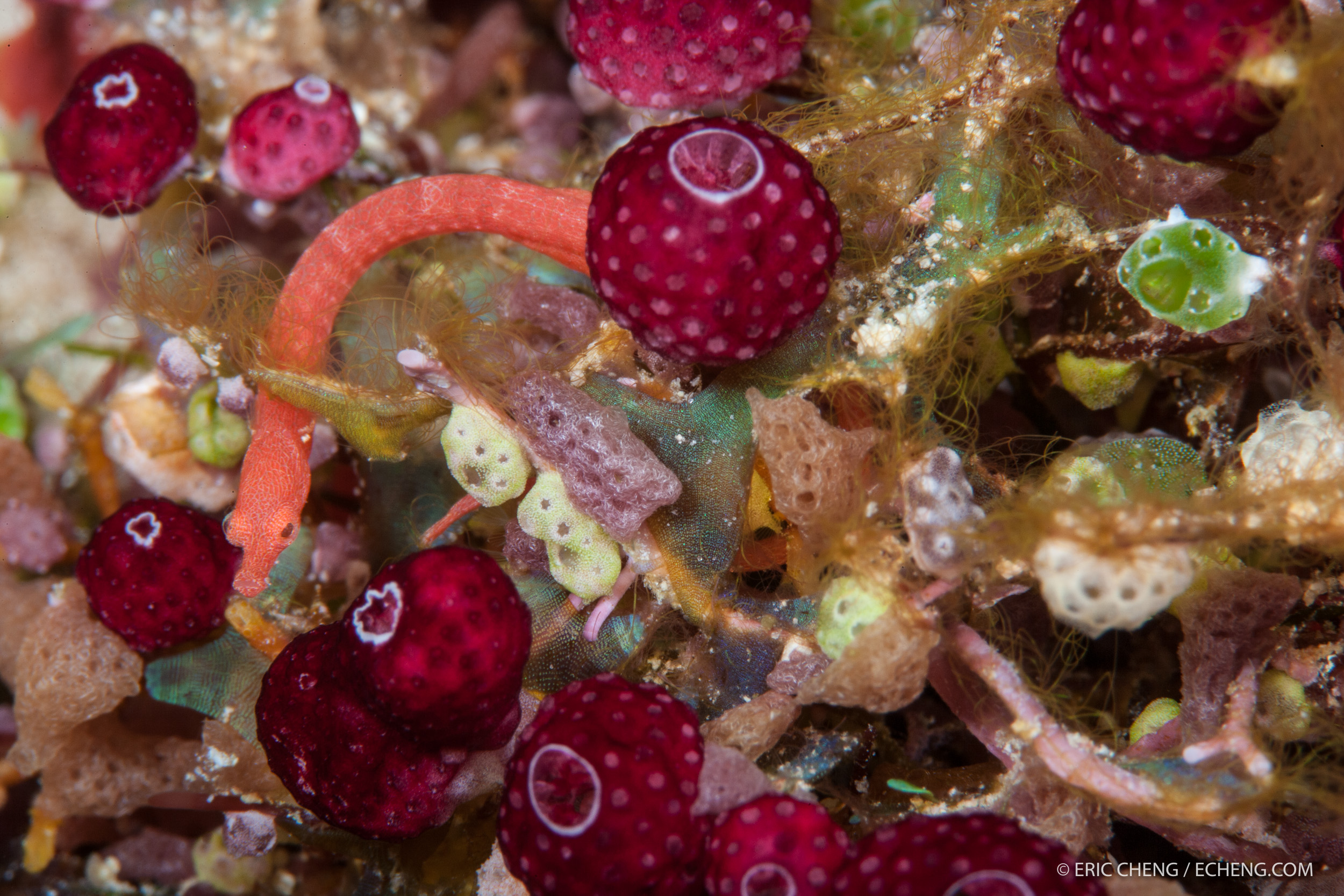 A well-camouflaged Lynne's pipefish (Festucalex rufus) in a bundle of tunicates, sponges, and algae at Kokoana Passage, Solomon Islands.