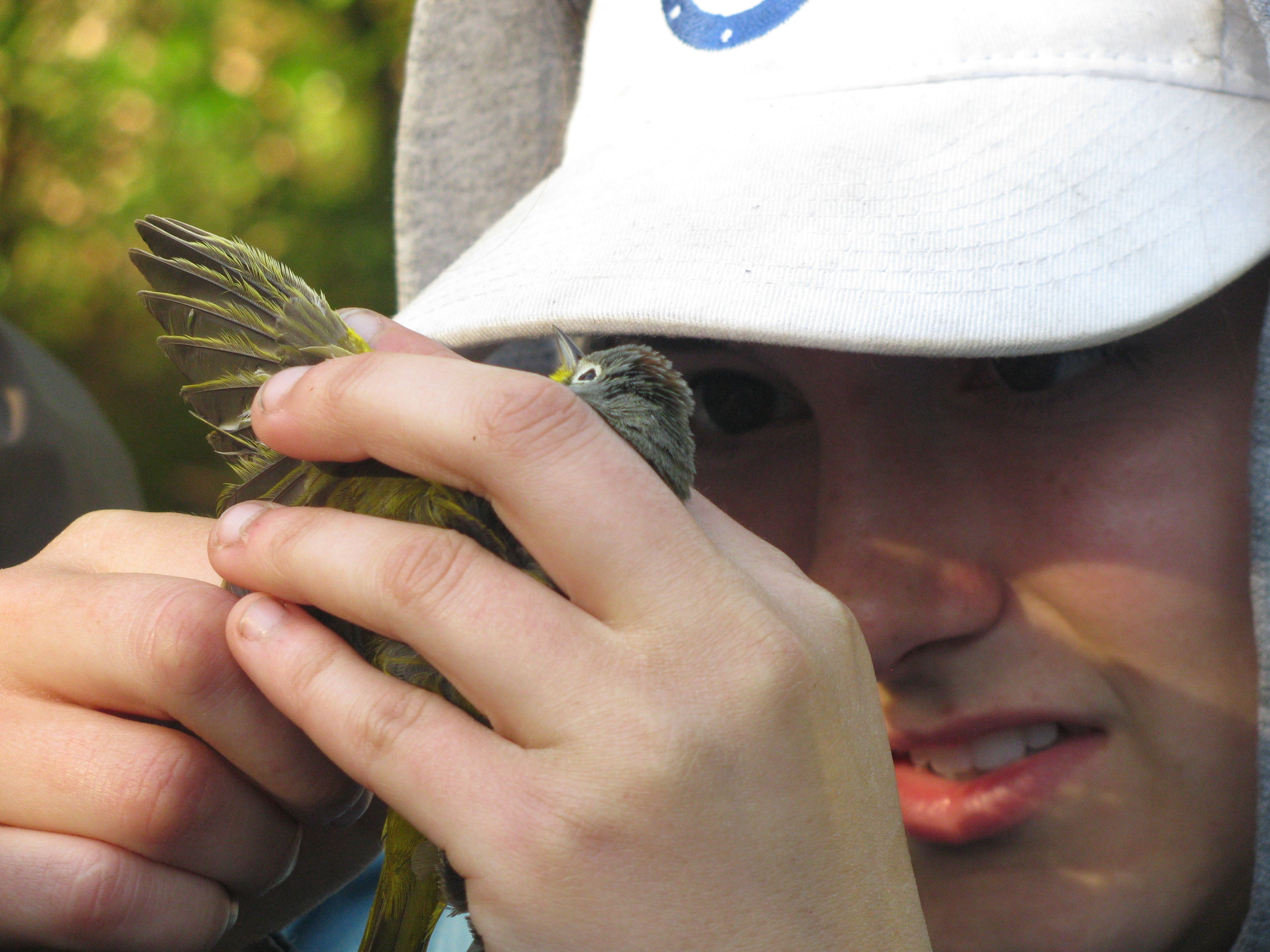 """A researcher from SUNY Albany collects a DNA sample for research into boreal bird populations. These data contributed to the identification of a hybrid species described in """" A new wood warbler hybrid ( Oreothlypis celata  x  O. ruficapilla ) from the Adirondack mountains, New York ."""""""