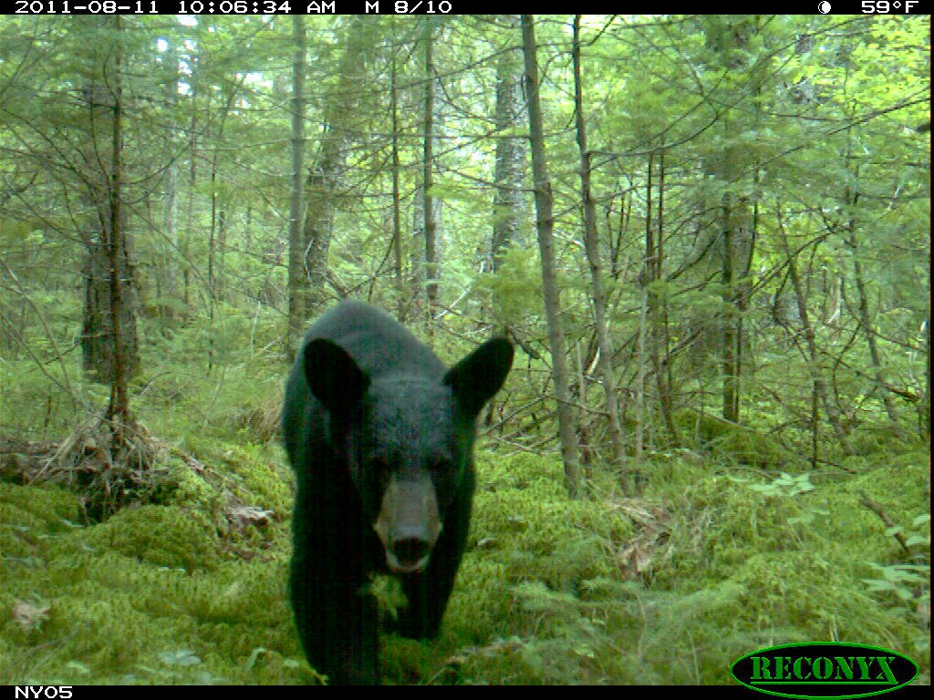 Trail camera image from the 2011 New york state museum research.