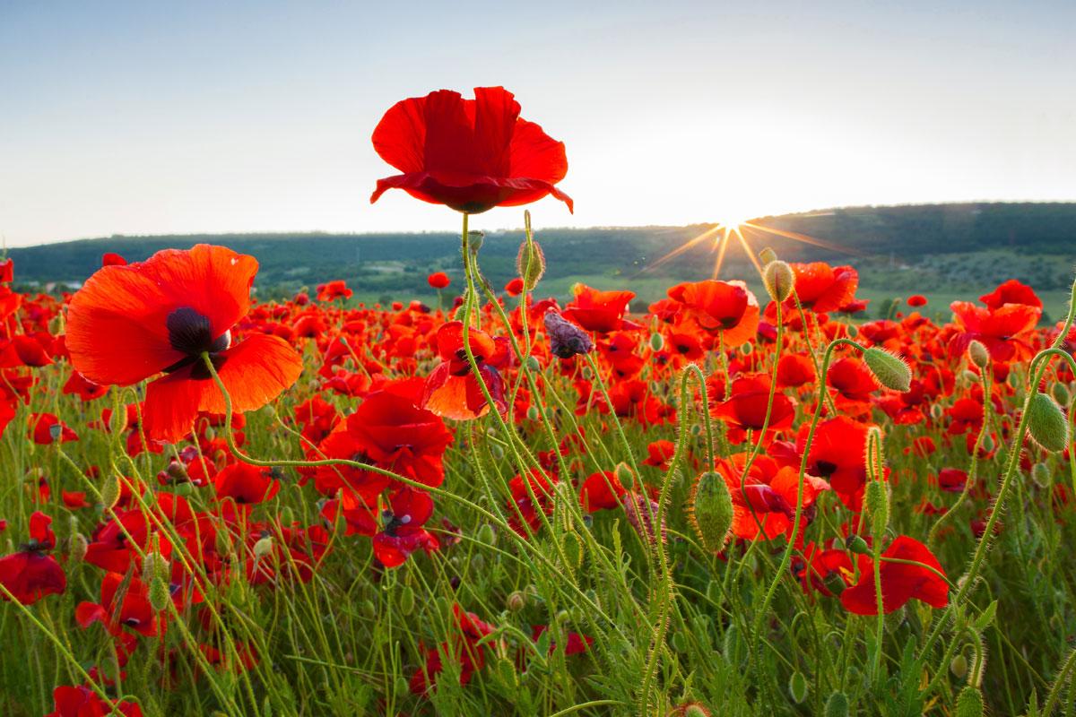 poppy field (Photo:  Oxford dictionaries blog )