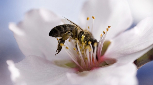 Bee on an almond tree (Photo:  Mother Jones )