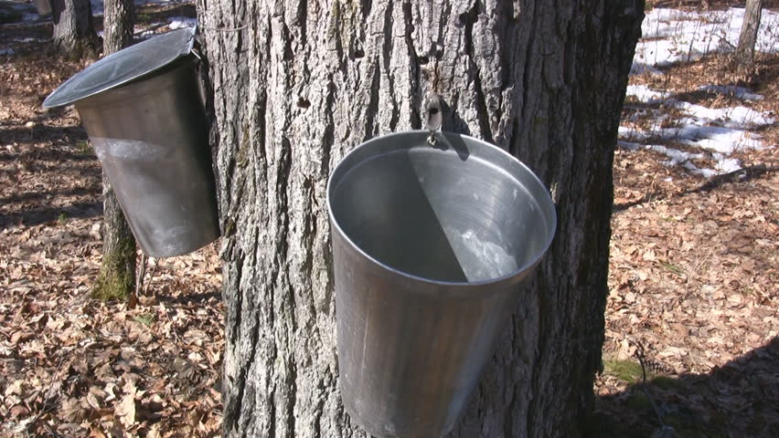 Maple Syrup Tapping (Photo:  Shutterstock )