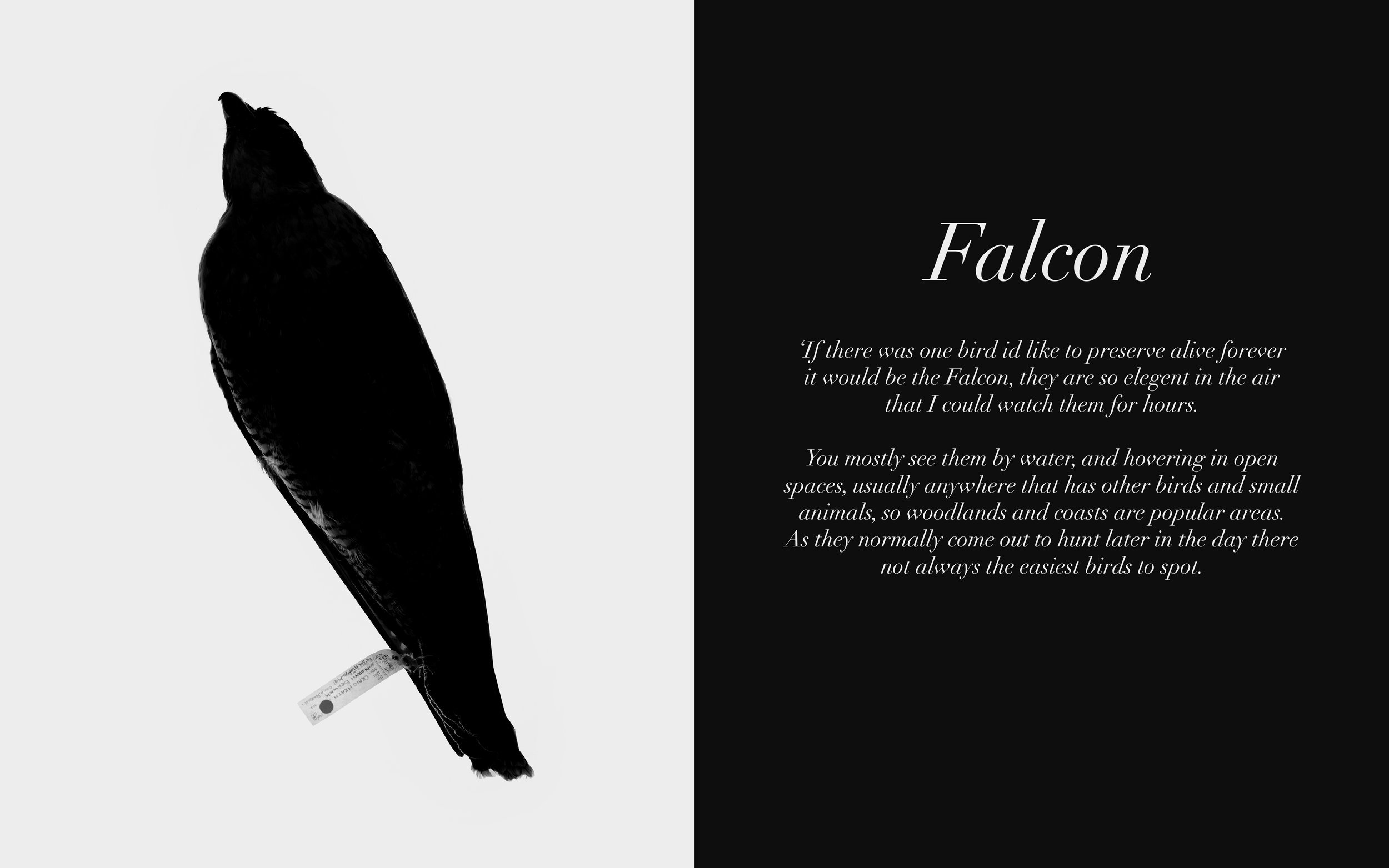 Image: Falcon Twitters, 2009-13 Lambda C-Type Print 32 x 20 inches