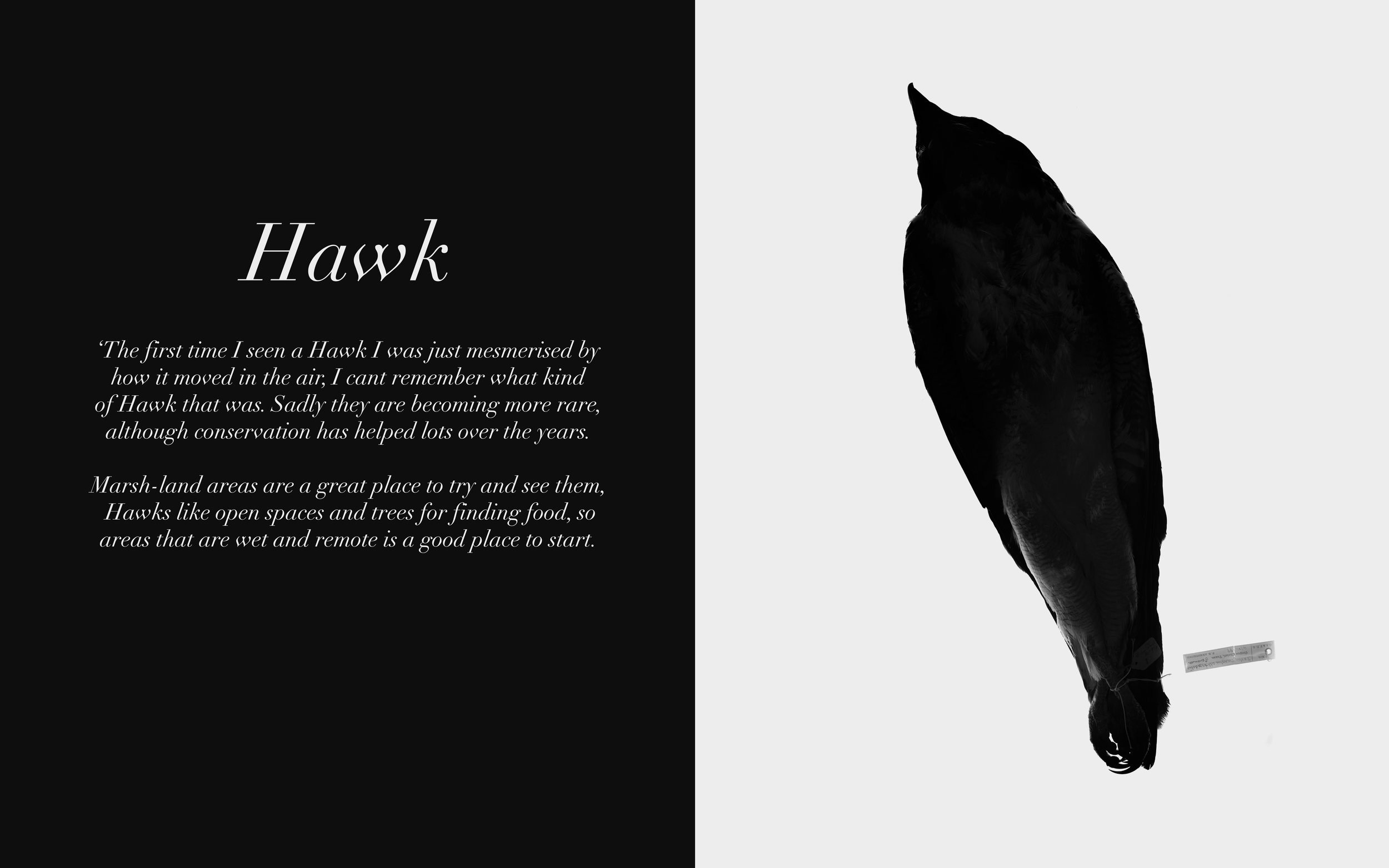 Image: Hawk Twitters, 2009-13 Lambda C-Type Print 32 x 20 inches