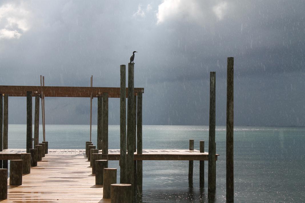 Cormorant having a rain shower
