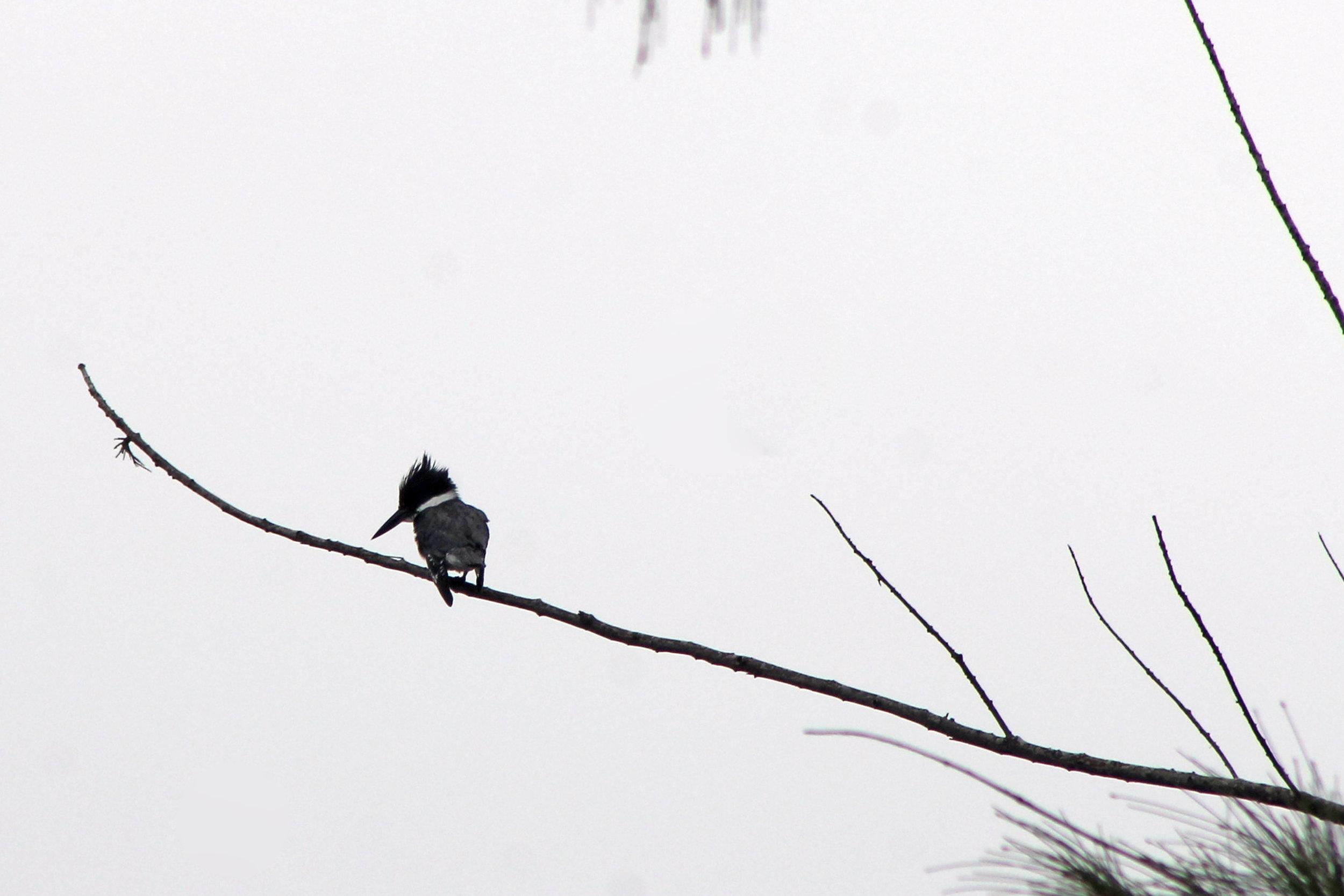 a_kingfisher jan 7.jpg