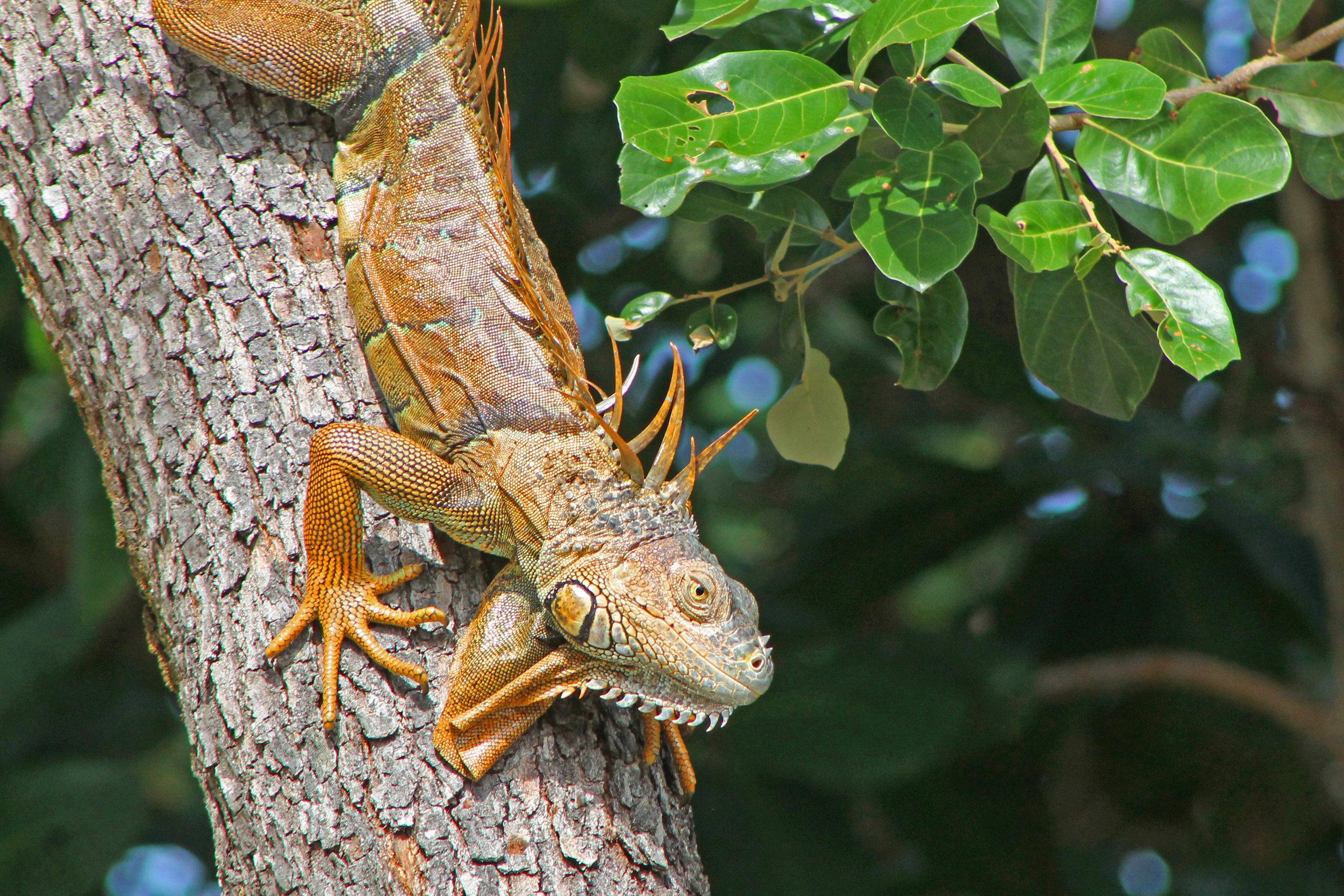 a_orange iguana jan 6 2018.jpg