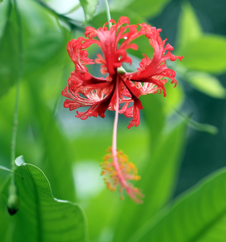 aaa_lacy hibiscus.jpg