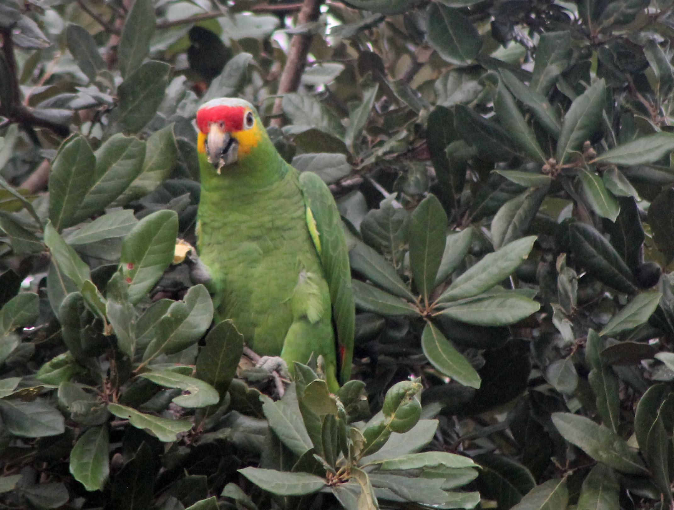aaa_parrot next door.jpg